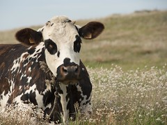 Un peu de repos **---+° (Titole) Tags: cow vache field titole nicolefaton 4185 thechallengefactory vachenormande robebringée taches bringée 15challengeswinner