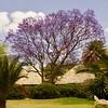 Jacaranda Tree (JC Warner) Tags: jacarandatree kenya lakenakuru safari trees