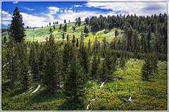 Field at Wraith Falls (Yellowstone National Park) (♡✌ Kᵉⁿ Lᵃⁿᵉ ✌♡) Tags: geo:lat=4493757647 mammoth unitedstates usa geo:lon=11062466517 geotagged adventure border buzsim clouds deadtrees exploring forest frame grandlooproad hill httpsenwikipediaorgwikiyellowstonenationalpark httpswwwnpsgovyell landscape lupinecreek nationalpark nationalparkservice naturalwonder nature painting pinetree pinetrees scenic scenicview sky topaz topazbuzsim tourism touristattraction travel travelblog travelphotography travelingadventures tree trees usnationalpark usnationalparkservice unitedstatesnationalpark worldadventures worldtravel worldsfirstnationalpark wy wyoming yellowstone yellowstonenationalpark yellowstonenp ynp