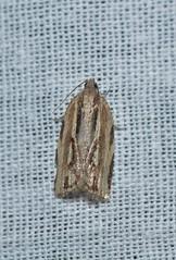 Tortricine Leafroller Moth (Pasha Kirillov) Tags: indonesia geo:country=indonesia sumatra gunungleuser lepidoptera taxonomy:order=lepidoptera moth tortricinae tortricidae