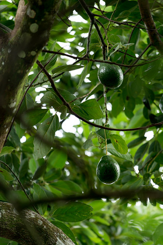 Avocados, Waitukubuli National Park, Dominica