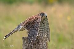 Wing exercise 500_1761.jpg (Mobile Lynn) Tags: birds birdsofprey kestrel nature bird birdofprey fauna raptor wildlife otterbourne england unitedkingdom gb coth specanimal sunrays5 coth5 npc