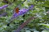 150817-ferragosto_047 (emanueleronchi) Tags: laorca lombardia animali estate esterni farfalla fiori grigliata lecco soleggiato