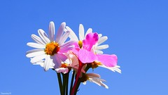 Summer (III) (YᗩSᗰIᘉᗴ HᗴᘉS +7 000 000 thx❀) Tags: summer été flower macro color blue hensyasmine 7dwf