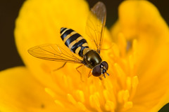 Hoverfly (Unid sp.) (The LakeSide) Tags: macro slovakia vysoke tatry tatra high nikon r1c1 d7100 insect fly hoverfly