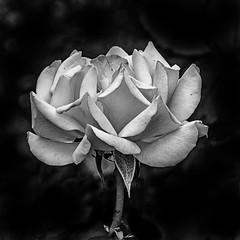 Petals in monochrome (KWaterhouse) Tags: montrealbotanicalgardensandparcmaisonneuve roses jardinbotaniquedemontréal rose blossom monochrome blackandwhite petal detail contrast montreal québec canada nikon d5300
