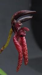 Bulbophyllum lasiochilum Parish & Rchb.f 1874 (Micro-orquídeas Roberto Martins) Tags: bulbophyllum lasiochilum parish rchbf 1874 epifitas micro microorquídeas mini orquídeas exposição orquidáceas galeria robertomicroorquideas robertoorquideas robertomicros permuta venda de coleção