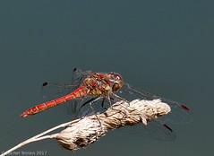 Sympetrum striolatum (zogt2000 (No Video)) Tags: dragonfly libellule sympetrumstriolatum sympétrumstrié