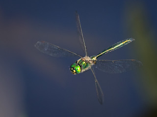 Flying emerald [Explored 2017-09-23] - Fliegender Smaragd (Joe)