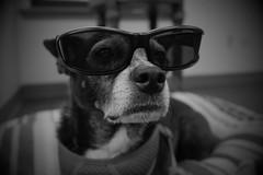Mazie, at work. 22 (X70) (Mega-Magpie) Tags: fuji fujifilm x70 mazie sunglasses shades cool cute funny dog pet puppy bw black white mono monochrome