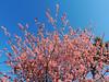 Pessegueiro (Antônio A. Huergo de Carvalho) Tags: flor flores flower flowers pessegueiro árvore árvores tree trees rosa corderosa pink natur nature natureza world