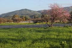 Durazno II (kokesheep) Tags: durazno árbol tree nature naturaleza primavera flower flowers flor flores