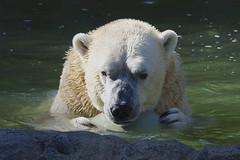 So you wanna play ball, do ya? (ucumari photography) Tags: ucumariphotography polarbear ursusmaritimus oso bear animal mammal nc north carolina zoo osopolar ourspolaire oursblanc eisbär ísbjörn orsopolare полярныймедведь nikita august 2017 dsc2488 specanimal 北極熊