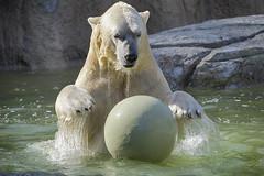 Big bear + big ball = big fun (ucumari photography) Tags: ucumariphotography polarbear ursusmaritimus oso bear animal mammal nc north carolina zoo osopolar ourspolaire oursblanc eisbär ísbjörn orsopolare полярныймедведь nikita august 2017 dsc2477 北極熊