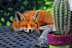 Nap time... (Dan Mumford) Tags: asleep foxsleepingongardentable table garden animal redhair break rest tired napping nap sleeping sleep 50d canoneos50d canon fantasticmrfox foxes fox wildlife danmumford danielmumford canon50d danmumfordphotography 2017 mumfordinc danmumfordcom mumfordinccom