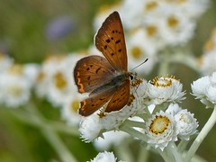 Purplish Copper (Lycaena helloides) (WRFred) Tags: butterfly insect washington olympicnationalpark flower