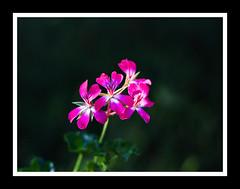 Flower Catching Morning Light (Clayton Ravsten) Tags: flower morning light pink canon 7d 50mm18