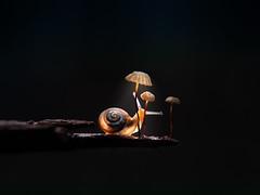 could these tiny mushrooms be reading lamps for snails? (marianna_a.) Tags: snail lamp dark night reading translucent swirl macro fauna flora mushroom fungi canada mariannaarmata p1560690 parasola plicatilis pinwheelmushroom