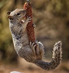 Just A Swing in... (cindyslater) Tags: rocksquirrel corn arizona wildlife cindyslater goldenvalleyaz animal