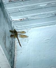 Dragonfly hiding from Hurricane Harvey rain. #hurricaneharvey (ronaldeorosz) Tags: hurricaneharvey dragonfly insect green san antonio texas wings blue sony