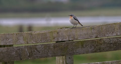 Wheatear (- A N D R E W -) Tags: wheatear bird uk nature wildlife canon 80d tamron 150600mm fence resting natural