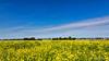 Former tulip field (BraCom (Bram)) Tags: bracom mosterdzaad mustardseed flowers bloemen trees sky bomen cloud wolk farm boerderij summer zomer blue yellow groenbemesting greenmanuring field akker dike dijk herkingen goereeoverflakkee zuidholland nederland southholland netherlands holland 169 widescreen bramvanbroekhoven nl