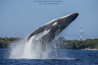 A huge breach by this mother humpback whale off the coast of Ha'apai, Tonga.