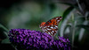 It's the small things.... (knoxnc) Tags: butterflybush bokeh nikon outside 191g nature butterflies d7200 closeup specanimal