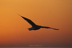 Livingstone al tramonto.... finalmente ti ho beccato! (succedeancheame) Tags: gabbiano tramonto sardegna volo