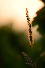 Glowing in the setting sun (DrQ_Emilian) Tags: sunset plant dof detail glow sunlight nature closeup night light color mood bokeh photography hobby sigma 105mm