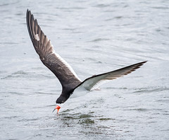 Black Skimmer (tresed47) Tags: 2017 201708aug 20170830newjerseybirds august birds blackskimmer canon7d content ebforsythenwr folder newjersey peterscamera petersphotos places season summer takenby tern us ngc