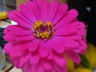 FLOWERS FROM THE FAIR (ZINNIA) Explored 9/2
