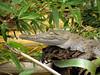 Rio Sarapiqui_55 (Thomas Jundt + CV) Tags: costarica heredia kaiman riosanjuan