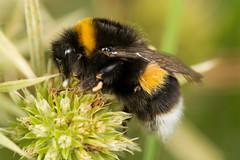 Bumblebee (bombus cf. terrestris) (The LakeSide) Tags: insect macro closeup nikon r1c1 d7100