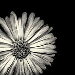 Yellow Flower in Black & White thumbnail
