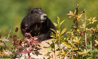 (EXPLORE) Vancouver Island Marmot (Marmota vancouverensis) - Courtenay, BC