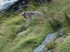 Austria '17 (faun070) Tags: grossglocknerstrasse austria alpinemarmot murmeltier marmotamarmota wildlife animal mammal