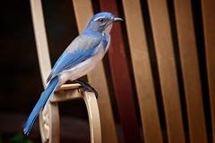 Jay (Life of David) Tags: aphelocomacalifornica california camarillo canon5dmarkiv usa wildlife backyard beautiful beauty bird nature scrubjay world100f