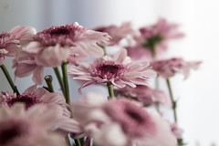 Pink flowers on a gloomy day (nihilsineDeo) Tags: flowercloseup macro pink chrysantemum canon dof explore awesome red flowers green