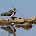 DSP01596 - Lapwing (Vanellus vanellus) (fotodave22) Tags: