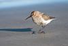 Dunlin? Juvenile? (Shane Jones) Tags: bird seabird wader wildlife nature nikon d500 200400vr tc14eii