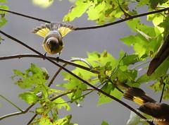 American Redstart_N2717 (Henryr10) Tags: ottoarmlederpark hamiltoncountyparkdistrict cincinnati ottoarmledermemorialpark armlederpark littlemiamiriver greatparksofhamiltoncounty canoelaunch americanredstart redstart avian bird vogel ibon oiseau pasare fågel uccello tékklistar setophagaruticilla warbler songbird amre