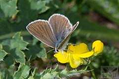 Aricia eumedon (Esper, 1780) ( BlezSP) Tags: aricia lycaenidae pirineos montaña ibérica licénido