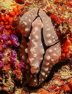Nudibranch. Nudibranco.