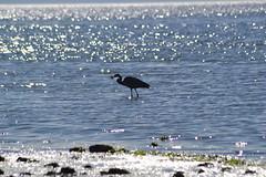 Birch Bay (TerriJane01) Tags: birchbay pacnw heron