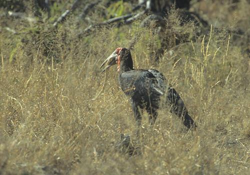 Ground Hornbill with Snake , Kruger Transfrontier, Park 0563