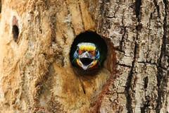 bird _taiwan (iipimages) Tags: kaohsiung blackbrowedbarbet bird taiwan iip iipedu iipacademy indianinstituteofphotography noida delhi india indiaclicks photography beautiful nationalgeographic images pictures indian