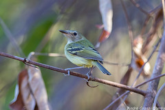 Poecilotriccus fumifrons/Smoky-fronted Tody-Flycatcher