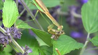 Praying Mantis Feeding