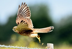 Fly away home. (pstone646) Tags: kestrel bird flight flying nature wings wildlife animal kent elmley feathers raptor birdofprey closeup fence fencepost bokeh